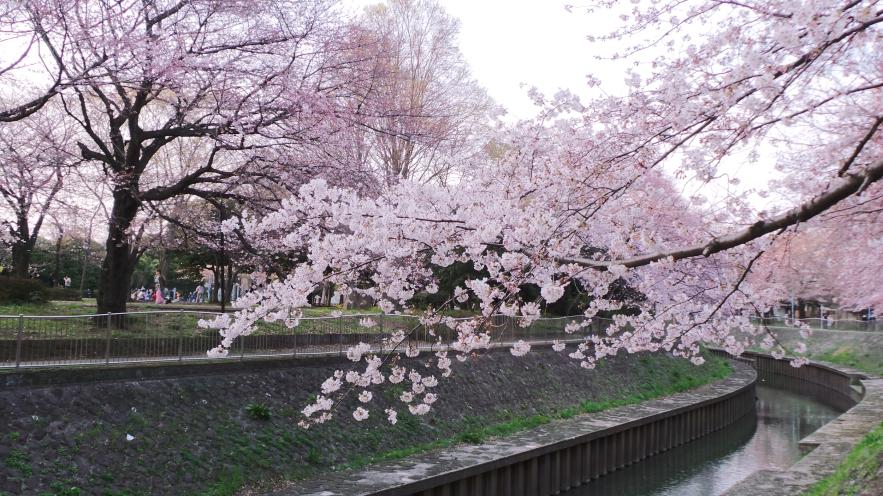 Sakura le long de la rivière Zenpukuji à Tokyo, Japon.