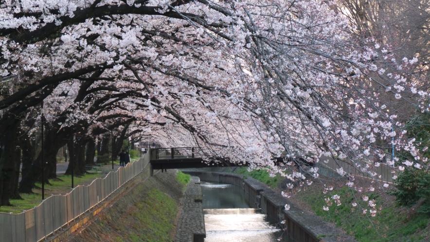 Sakura en fleurs loin de la foule à Tokyo, Japon.