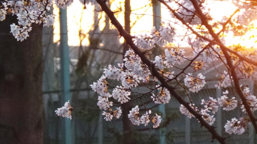 Sakura en fleurs au coucher du soleil loin de la foule à Tokyo, Japon.