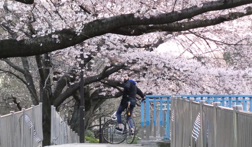 À vélo sous les sakura à Tokyo, Japon.