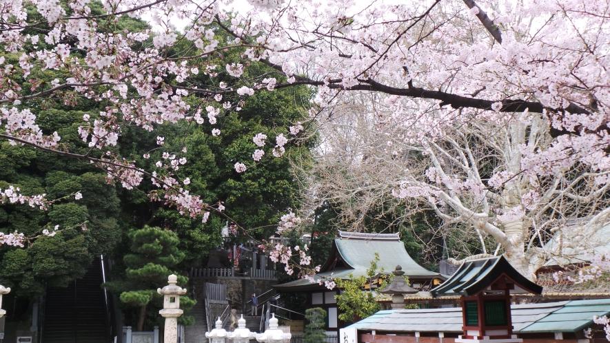 Sakura en fleurs dans un temple à Tokyo, Japon.