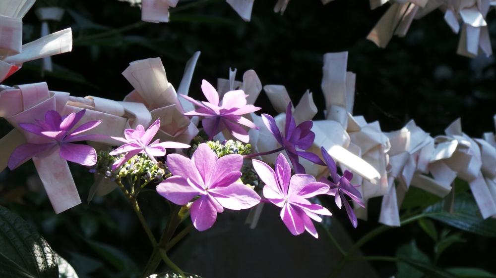 Les fleurs se glissent entre les omikuji au temple d'Enoshima