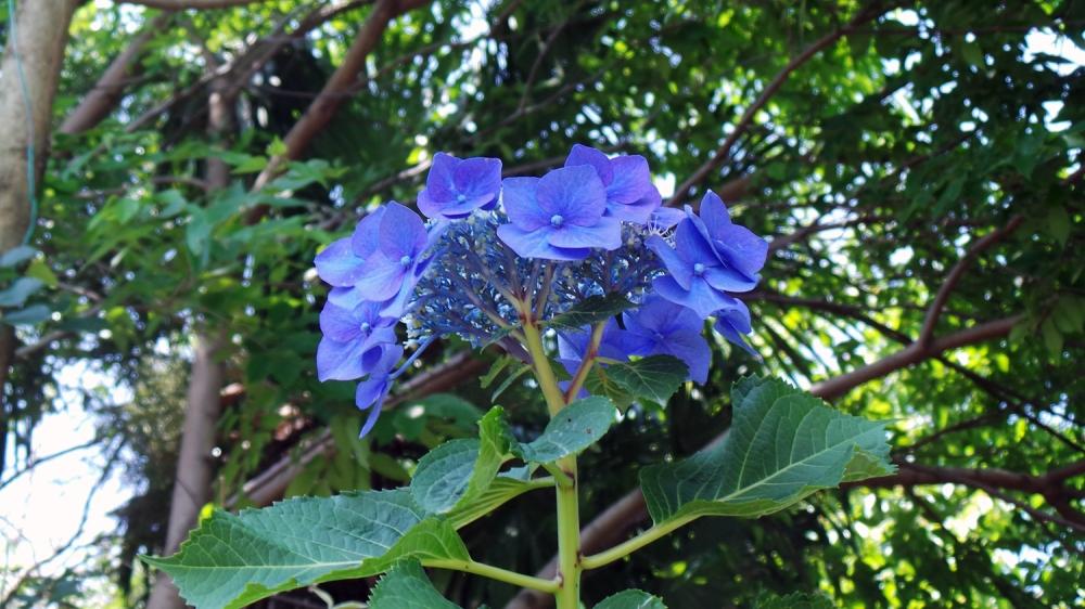 Une fleur bleue dans la forêt de Totoro près de Tokyo.