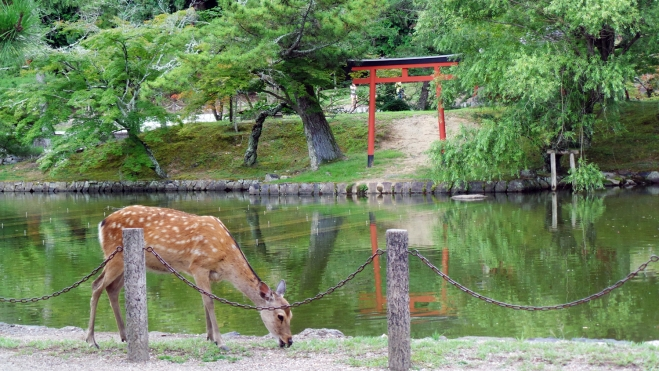 Biche devant un torii à Nara, Japon.