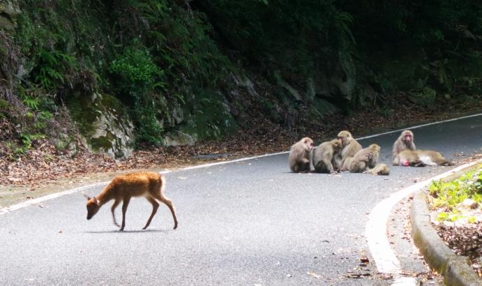 Biches et singes en liberté sur l'île de Yakushima, Japon.