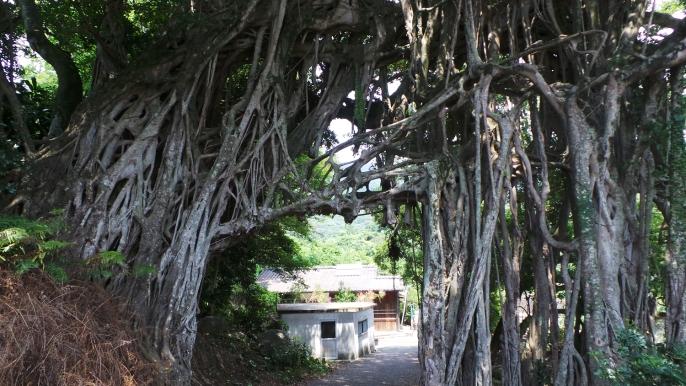 L'arbre géant Gajumaru Banyan sur l'île de Yakushima, Japon.