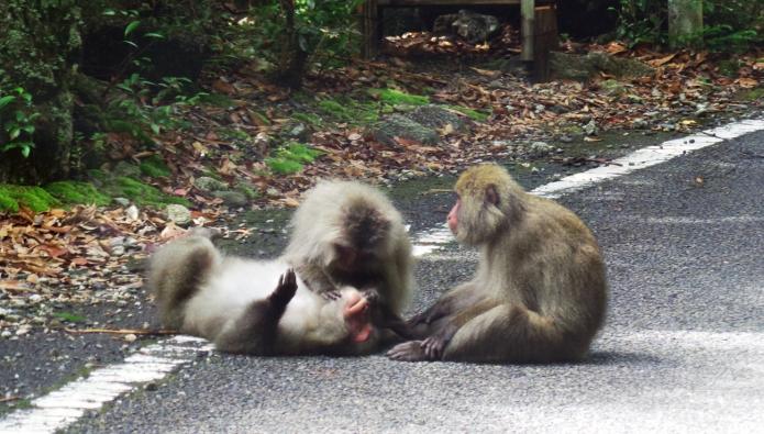 Des singes se font des papouilles sur la route, île de Yakushima, Japon.