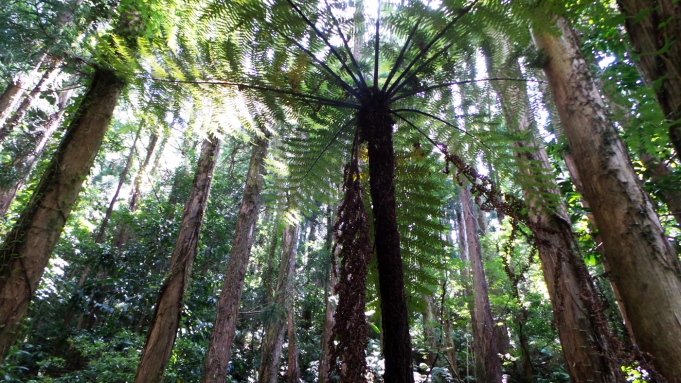 La forêt de Yokogawa sur l'île de Yakushima, Japon.