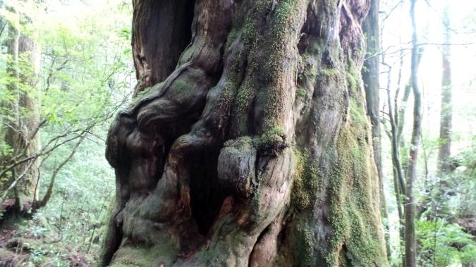 L'arbre Buddhasug à Yakusugi land sur l'île de Yakushima, Japon.