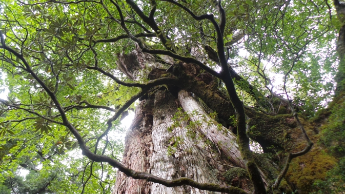 Le cèdre kigensugi vieux de 3000 ans, sur l'île de Yakushima, Japon.