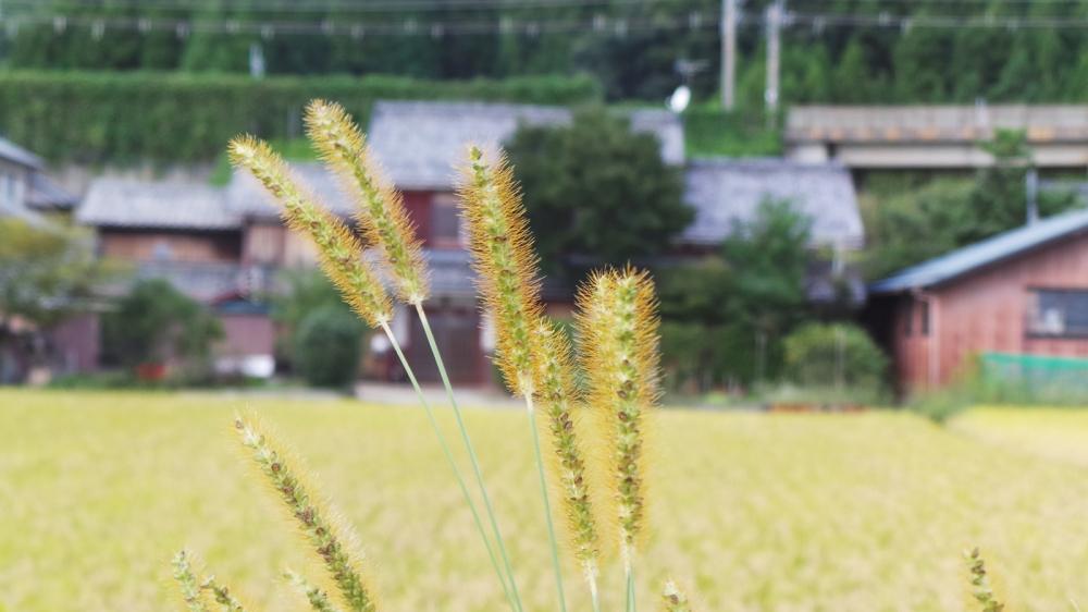Japon rural, champs et rizières sur les bords du lac Biwa, Kyoto, Japon.