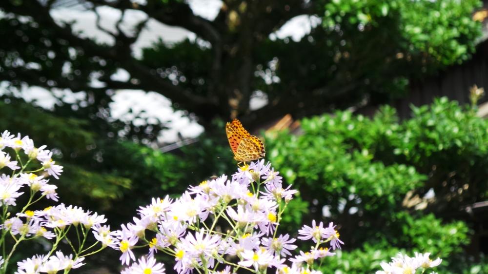 Papillon sur des fleurs à Kyoto, Japon.