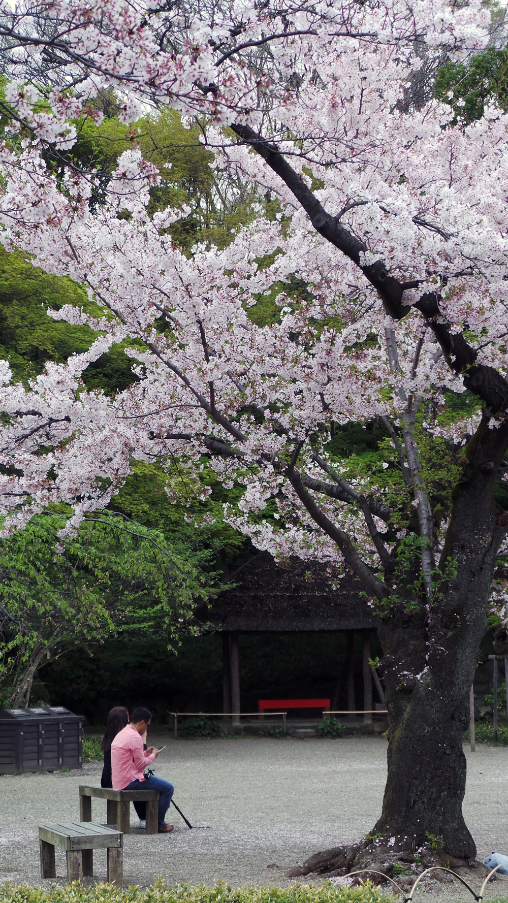 Koishikawa Korakuen, un jardin à visiter au moment des sakura, Tokyo, Japon.
