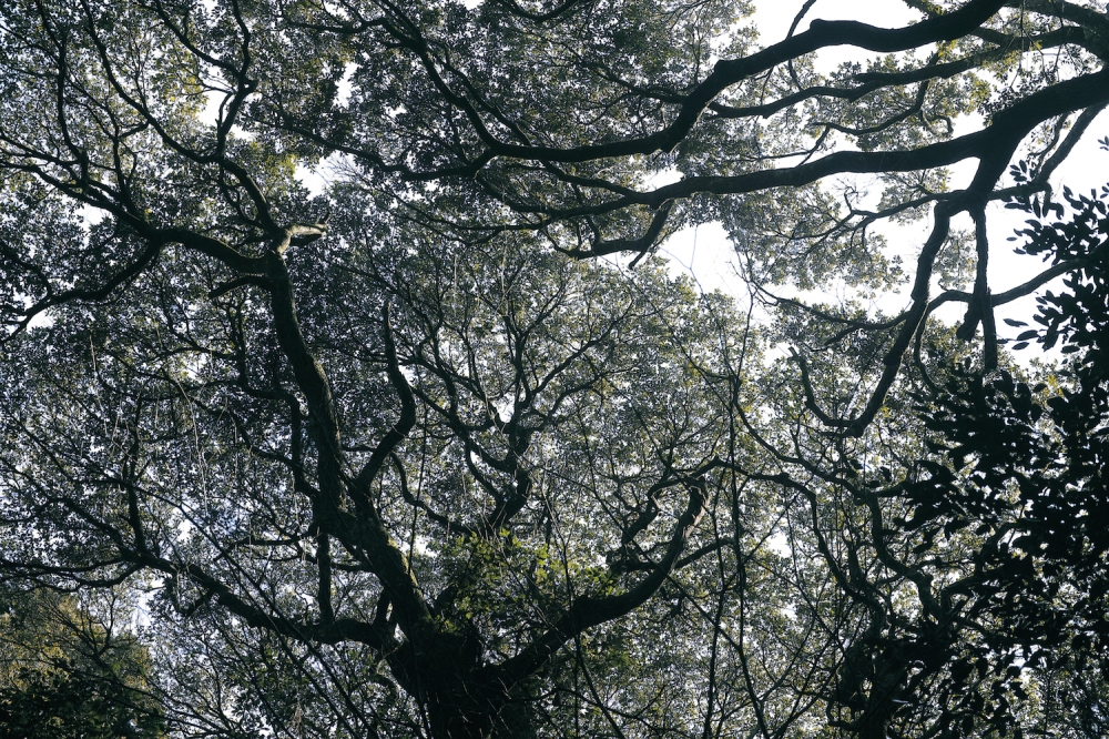 Les arbres du sanctuaire Kashima Jingu, près de Tokyo, Japon.