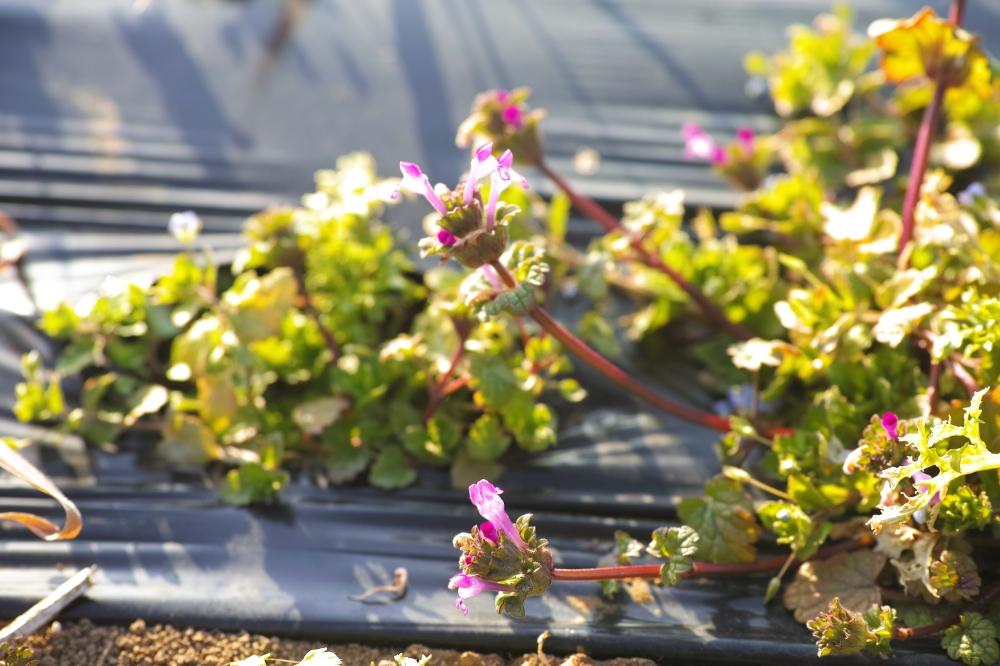 Salade bio dans les champs à Kashima, près de Tokyo, Japon.