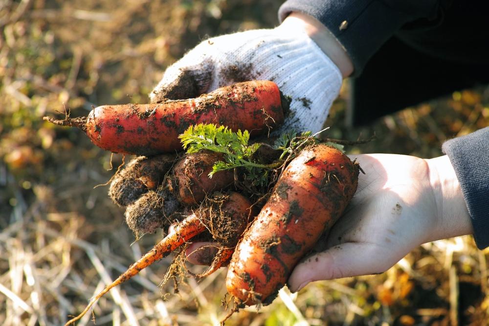 Cueillette de carottes bio dans les champs à Kashima, près de Tokyo, Japon.