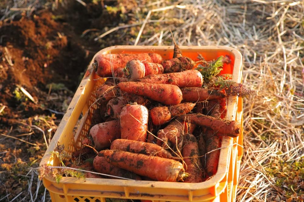 Cueillette de carottes dans les champs à Kashima, près de Tokyo, Japon.