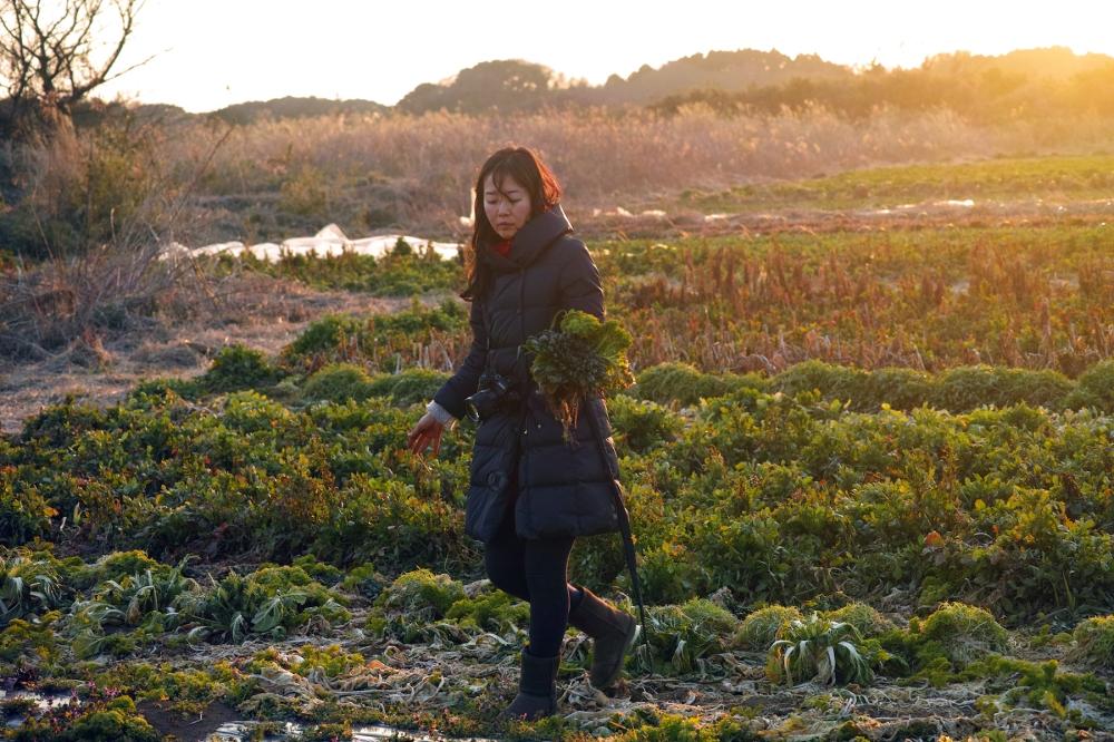 Cueillette de salades dans les champs à Kashima, près de Tokyo, Japon.