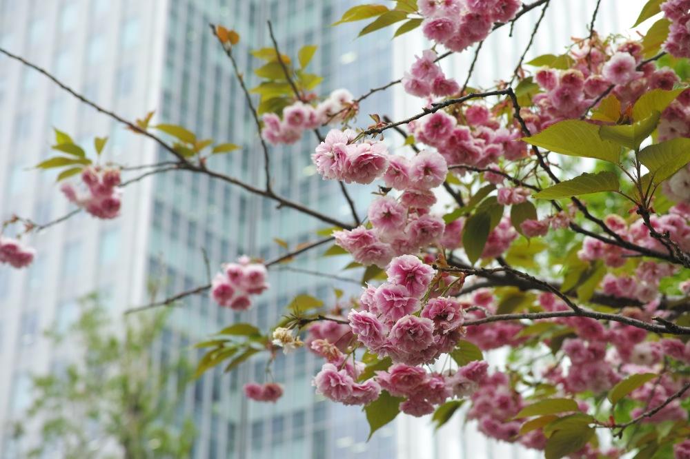 Sakura au jardin botanique de Sapporo, île d'Hokkaido, Japon.